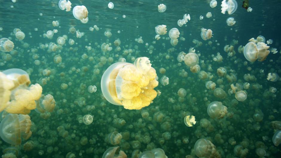 صور رائعة لقنديل البحر الذهبي 31244.jpg