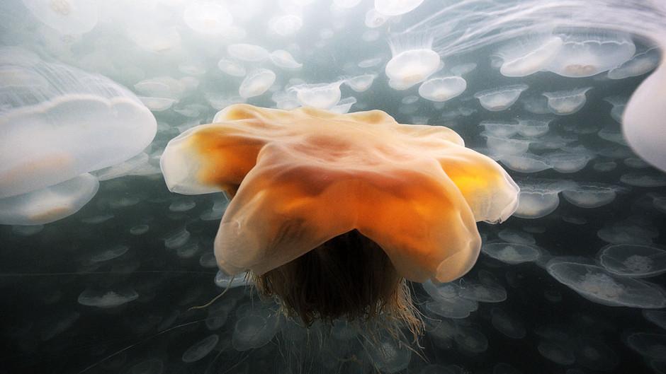 صور رائعة لقنديل البحر الذهبي 31245.jpg