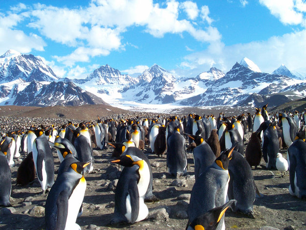 Penguins on The Island of South Georgia