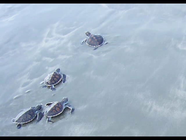 Baby Seaturtles in their race for life,  SIAMPEDIA